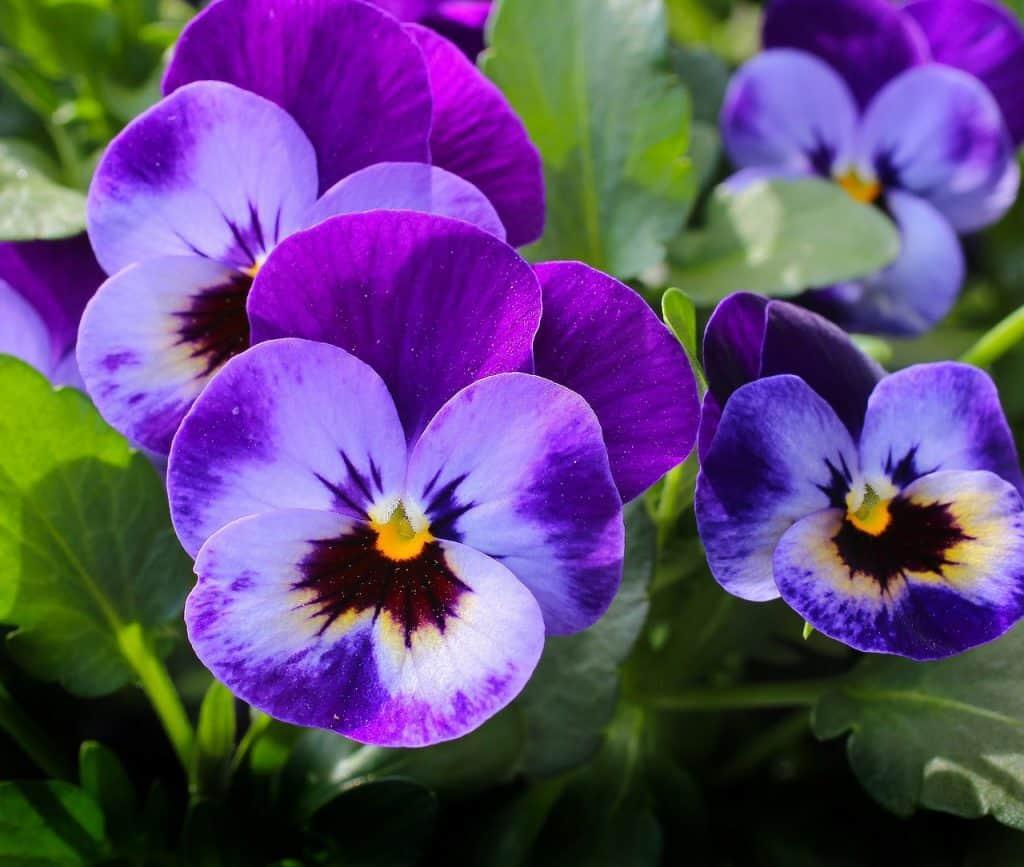 Popular Viola Varieties