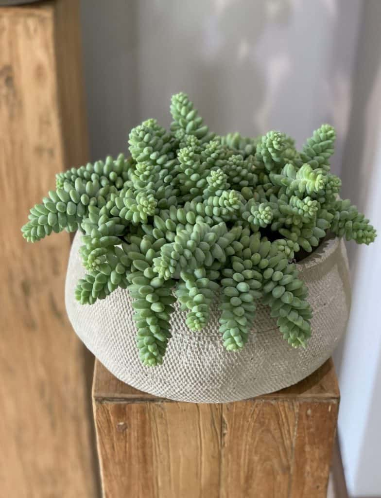 grow this donkey tail plant